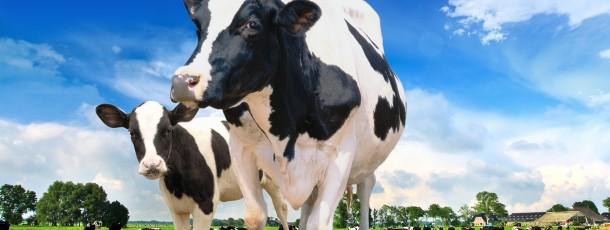 Van Breden_koeien