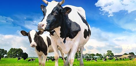 Van_Breden_koeien